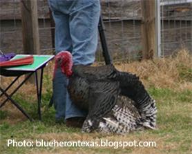 Large male turkey